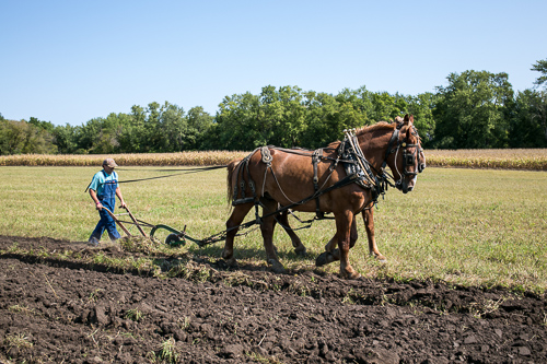 Horse drawn plowing