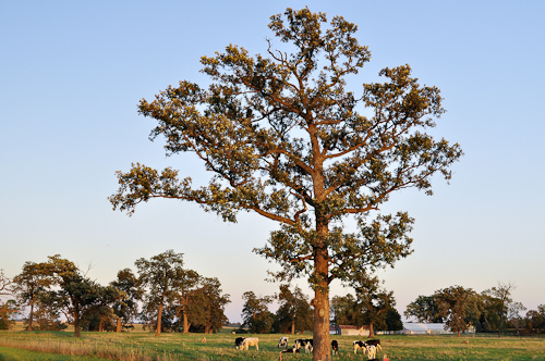 Pasture, Tree and Cows in Late afternoon sun