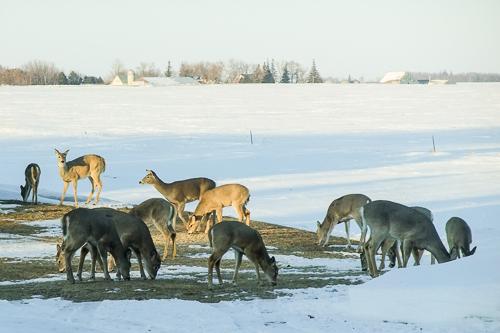 Deer feeding on the kindness of a farmer.