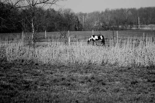 Paint grazing in the pasture.