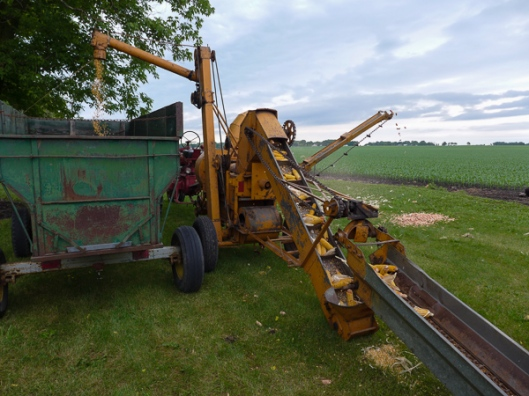 Corn goes up the elevator into the sheller