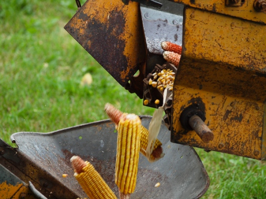 Corn Dropping into the Sheller