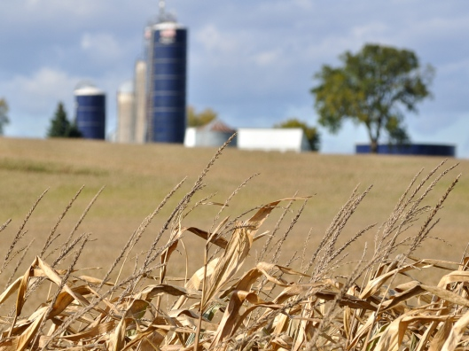 Twin Harvestore silos in the backdrop of a corn field. The corn in the foreground looks like a bountiful harvest may indeed fill the silos